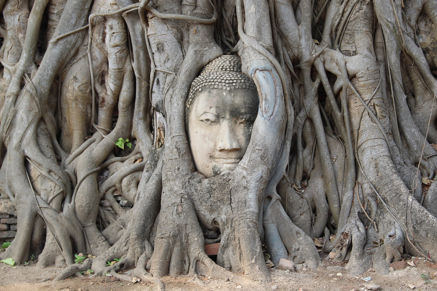 Buddha intertwined in tree roots in Wat Mahathat in Ayutthaya