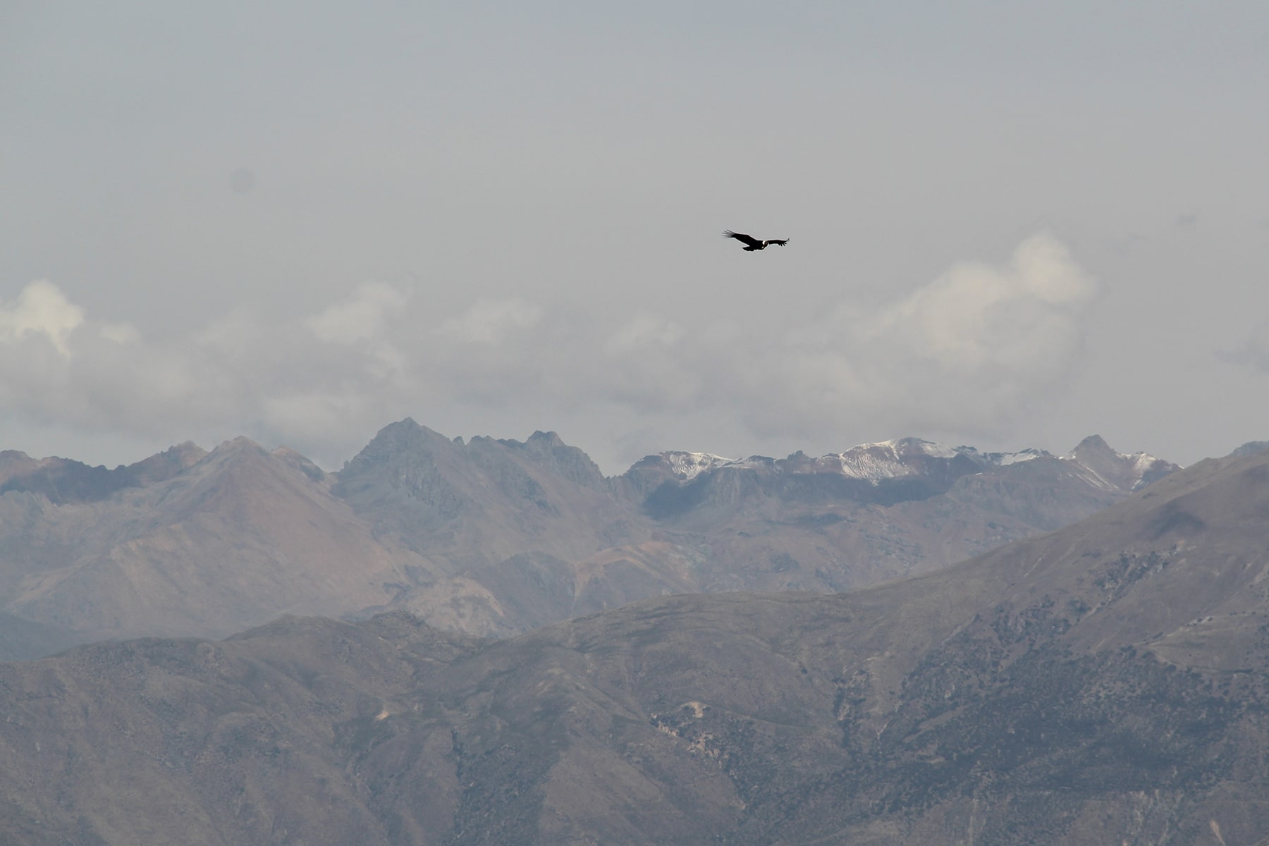Condor flying over the Andes in Colca Canyon