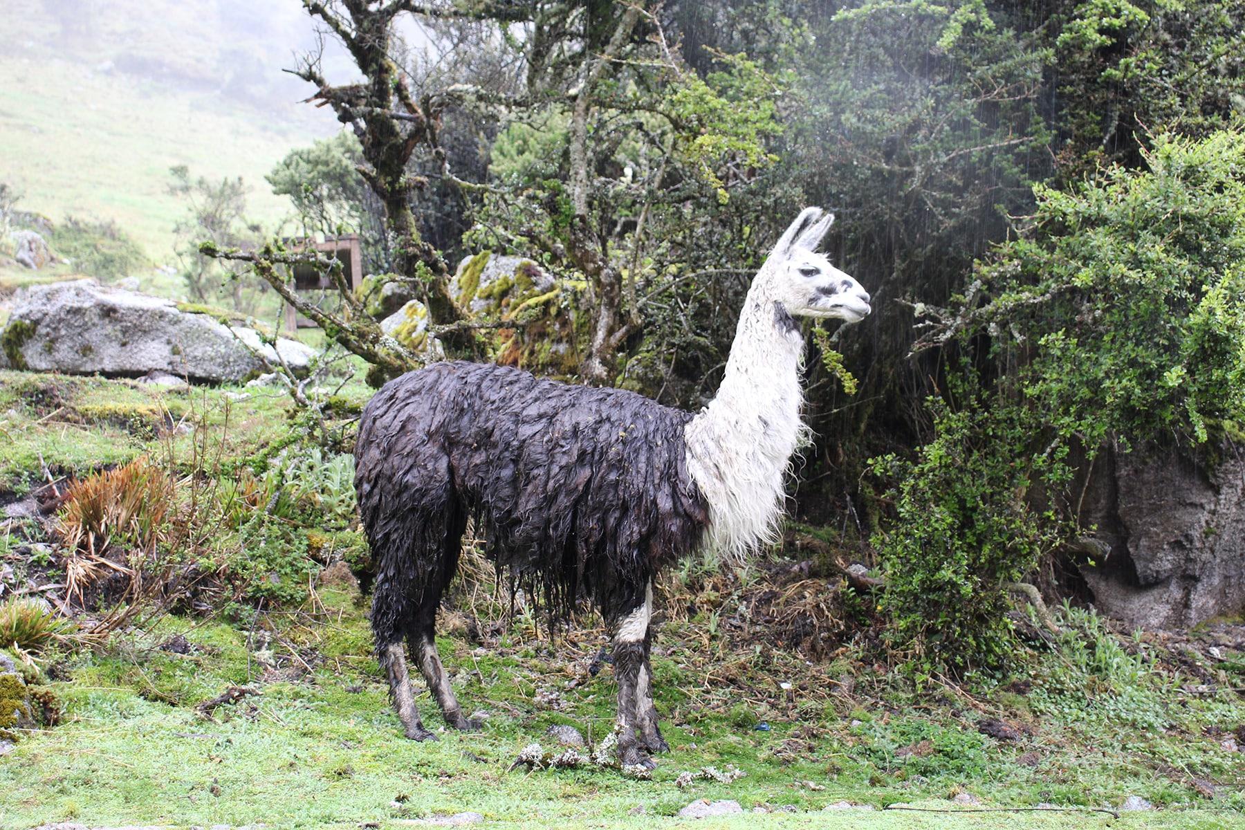 Un lama zuppo sotto la pioggia sull'inca trail