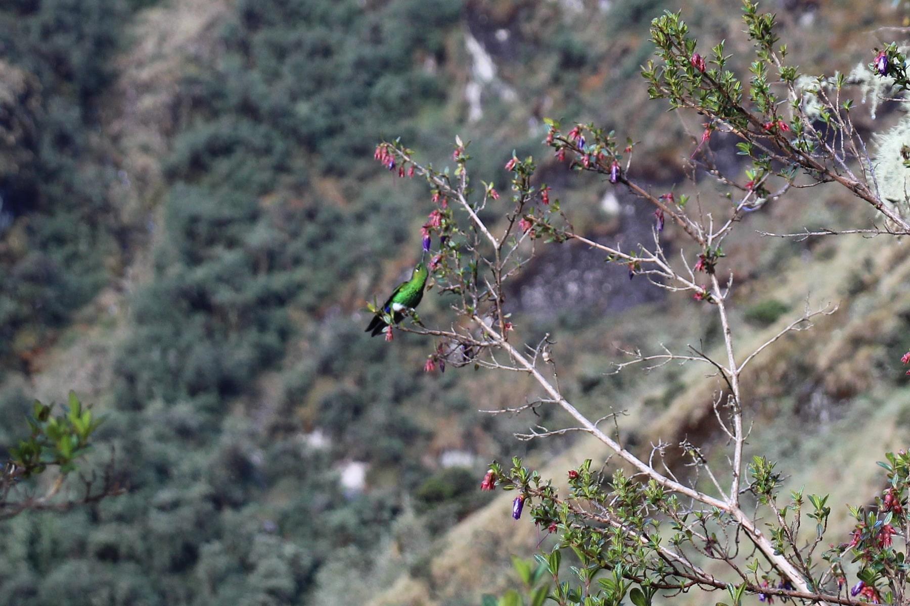 Un colibrì sul sentiero inca