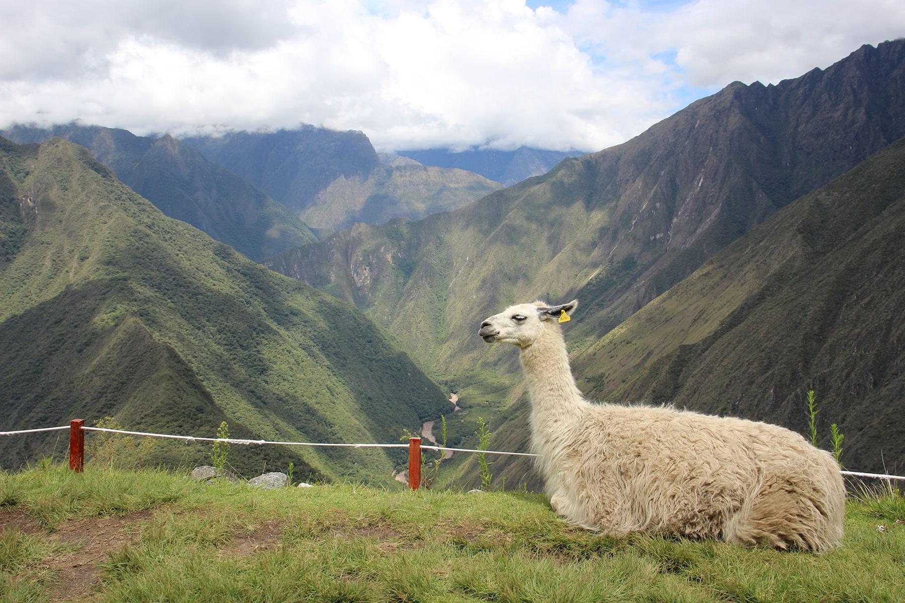 Un lama et la vue depuis le site d'Intipata, Inca Trail
