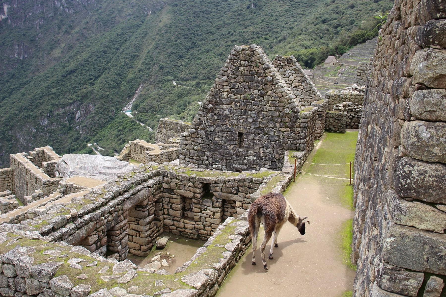 Un lama au Macchu Picchu